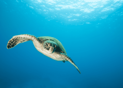 Climate Change: The Feminisation of Sea Turtles