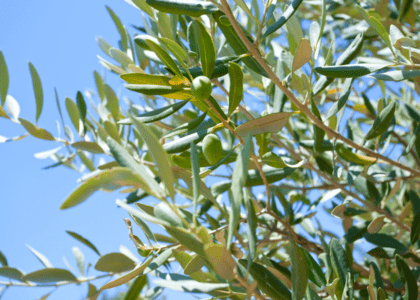 Field Notes: The Olive Tree
