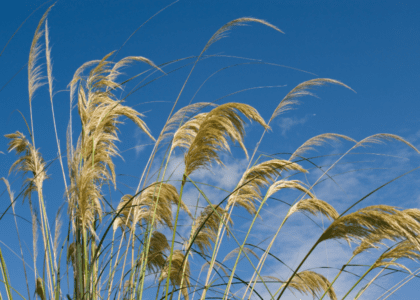 Field Notes: Pampas Grass