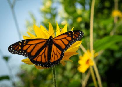 Monarch Butterflies in Bermuda