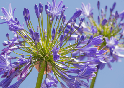 Field Notes: African Lily